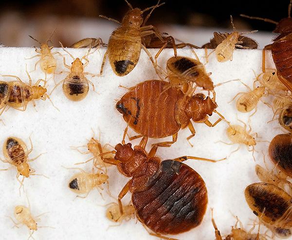 Личинки и взрослые особи постельных клопов