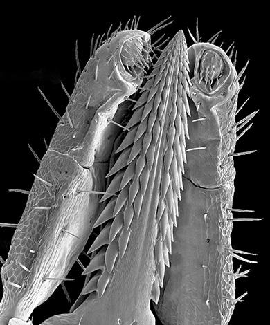 Внешний вид хоботка клеща под микроскопом.