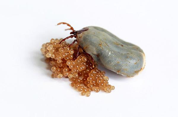 После откладывания яиц самка быстро погибает.
