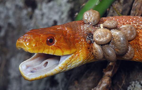 Клещи на змее.