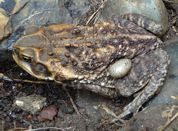 Иксодиды могут паразитировать также на жабах и лягушках.