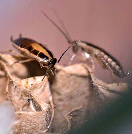Чем больше в квартире тараканов, тем больше времени потребуется для их полной ликвидации.