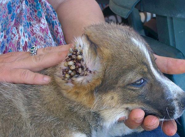 Излюбленное место присасывания клещей у собаки - в ухе.