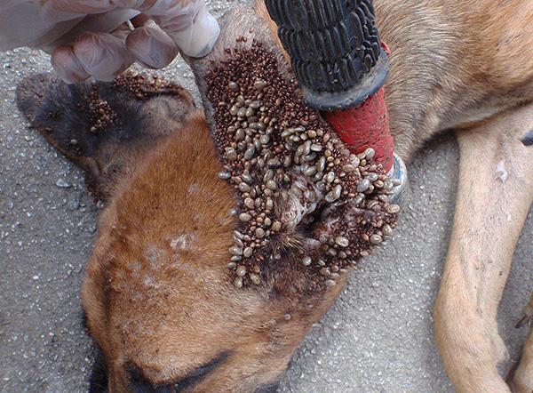 Чем больше клещей присосалось к собаке, тем выше риск ее заражения опасной инфекцией.