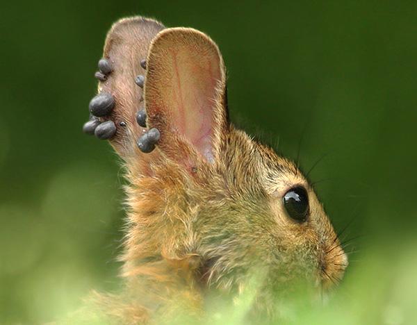На фото хорошо видно множество напитавшихся кровью паразитов на ушах животного.