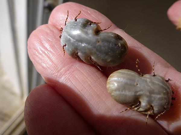А так эти паразиты выглядят после насыщения кровью
