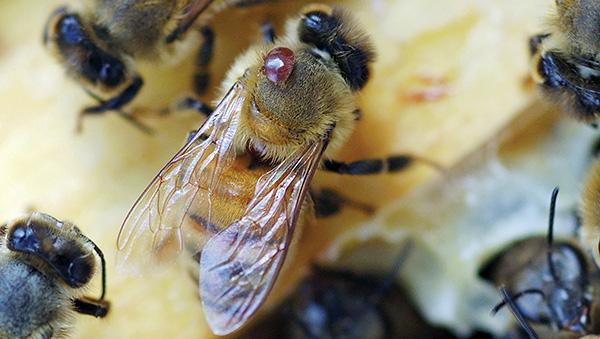 Паразитический клещ Varroa на пчеле