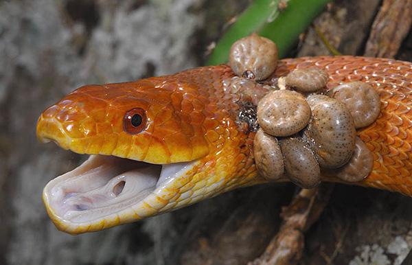 Иксодовые клещи способны питаться кровью самых разных животных...