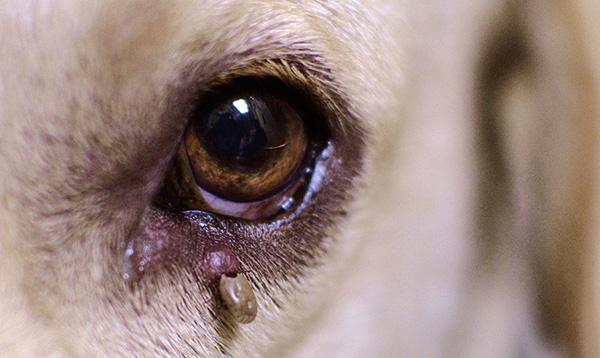 При появлении у собаки симптомов заболевания после укуса клеща важно срочно принимать меры...