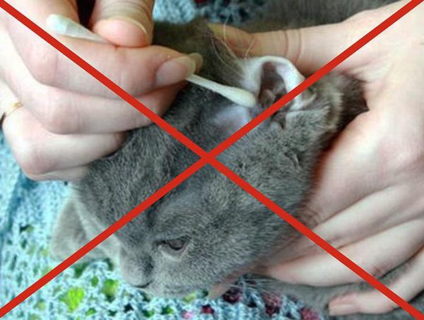 При очищении ушей кошки не рекомендуется использовать ватные палочки.
