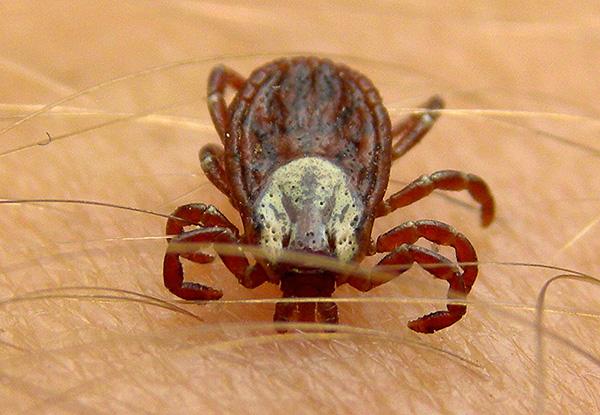 Паразит впрыскивает возбудителей инфекции вместе со слюной во время укуса.