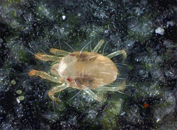Так вредитель выглядит под микроскопом