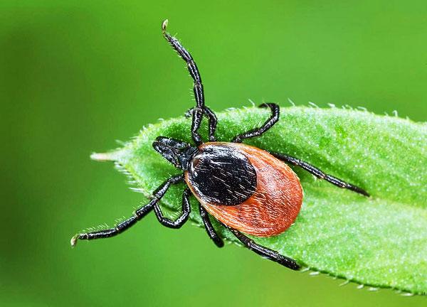 Выясняем, как именно клещ нападает на человека и какие органы чувств помогают паразиту охотиться...