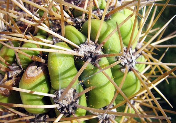 Паутинный клещ на кактусе