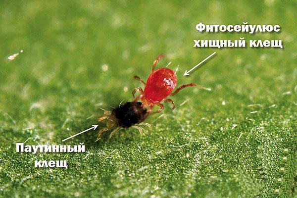 Фитосейулюс, поедающий паутинного клеща