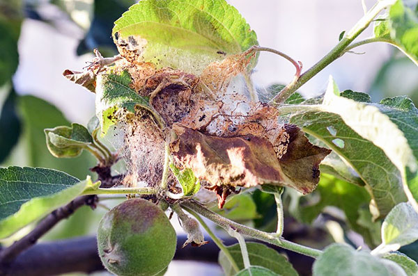 Паутинный клещ на яблоне