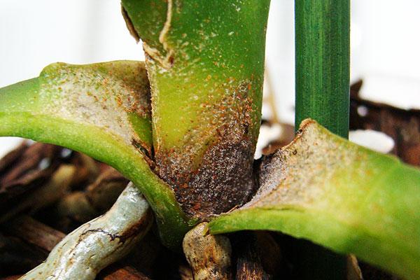 Орхидея, зараженная паутинным клещом