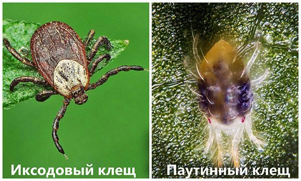 Иксодовый и паутинный клещи