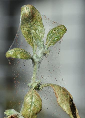 Ветка яблони с паутинным клещом