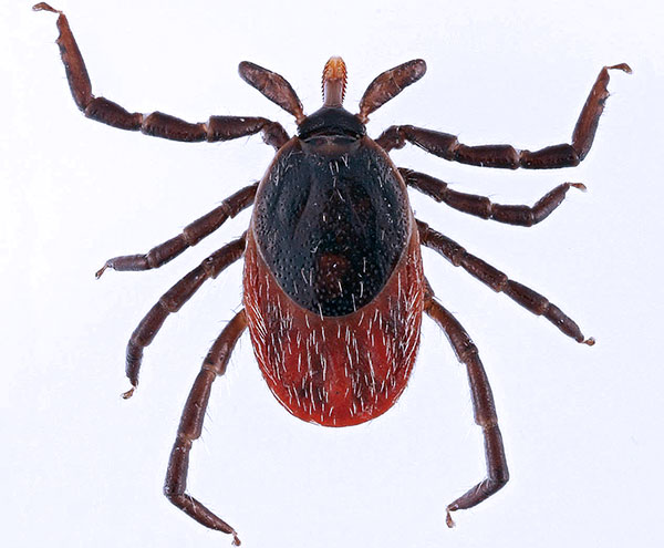 Ixodes ricinus (взрослая самка)