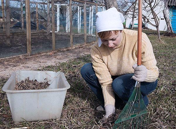 Уборка листьев при борьбе с паутинным клещом