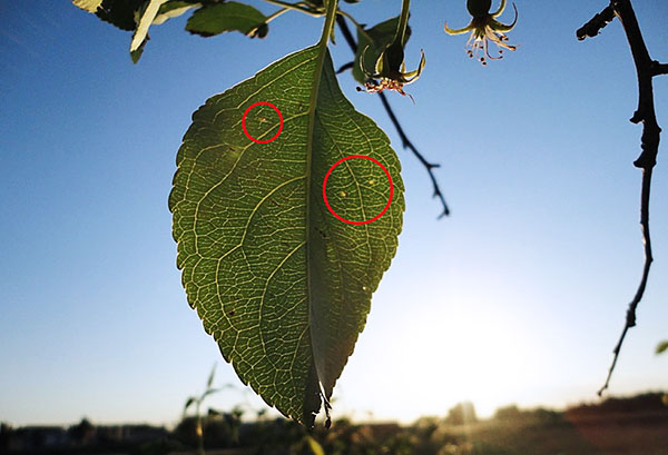 Лист яблони, пораженный паутинным клещом