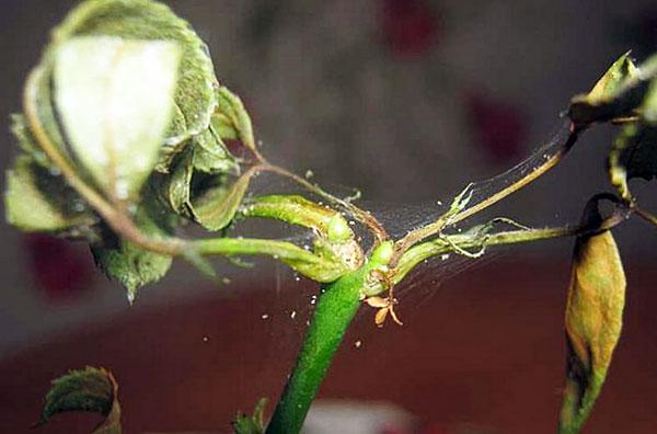Паутинный клещ на жимолости