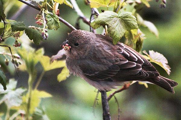 Птицы переносят почковых клещей