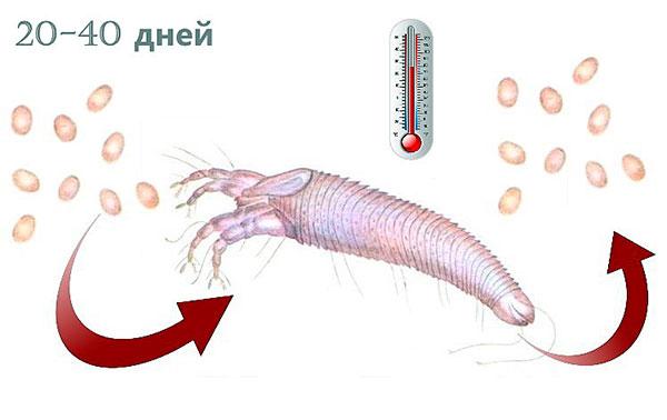 Зависимость жизненного цикла почкового клеща от температуры воздуха