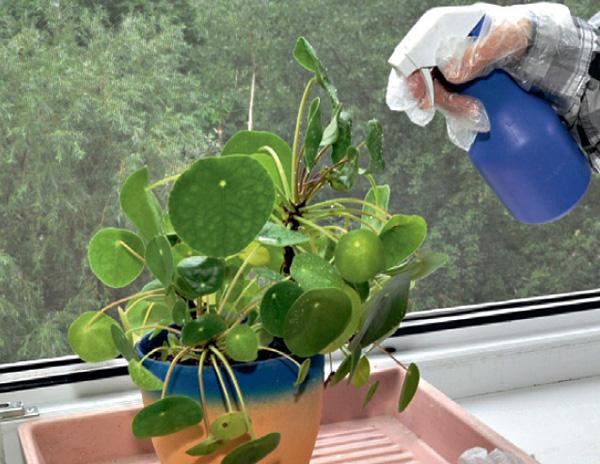 Обработка комнатных растений от паутинного клеща