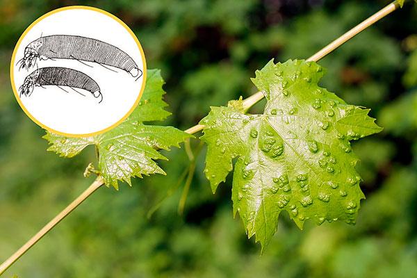 Выясняем, опасен ли виноградный клещ и какие методы борьбы с ним наиболее эффективны...