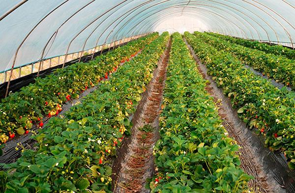 Микроклимат в теплице способствует размножению земляничного клеща