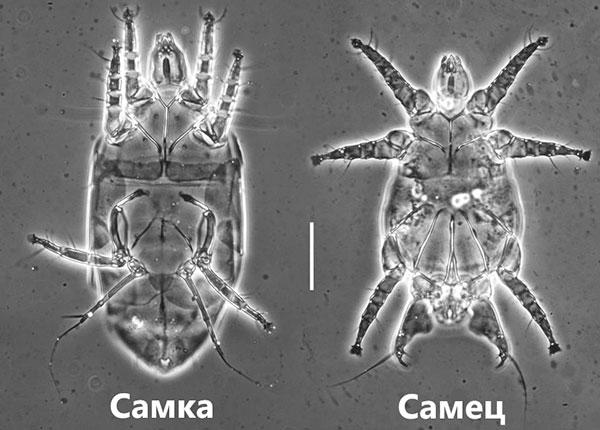 Земляничный клещ под микроскопом (самка и самец)