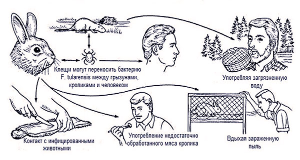 Как можно заразиться туляремией