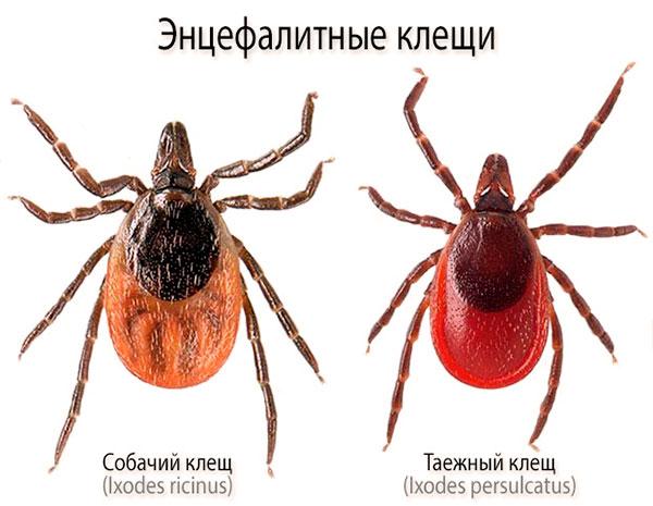 Энцефалитные клещи (Ixodes ricinus, Ixodes persulcatus)