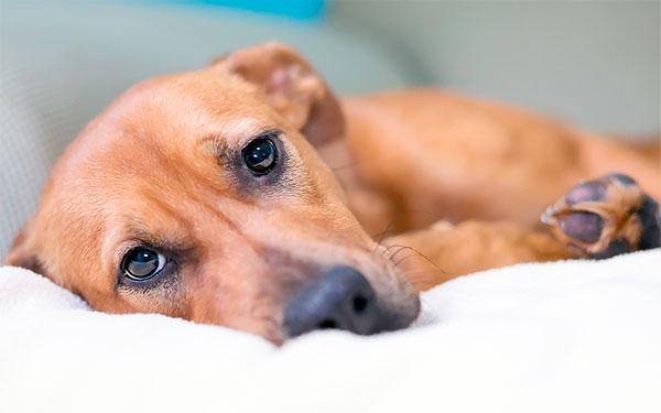 Ухудшение состояния собаки после укуса клеща