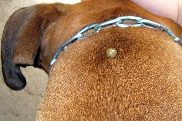 Сытого клеща на собаке следует извлекать с осторожностью