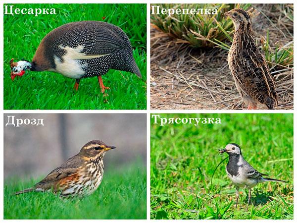 Птицы, которые могут съесть клещей