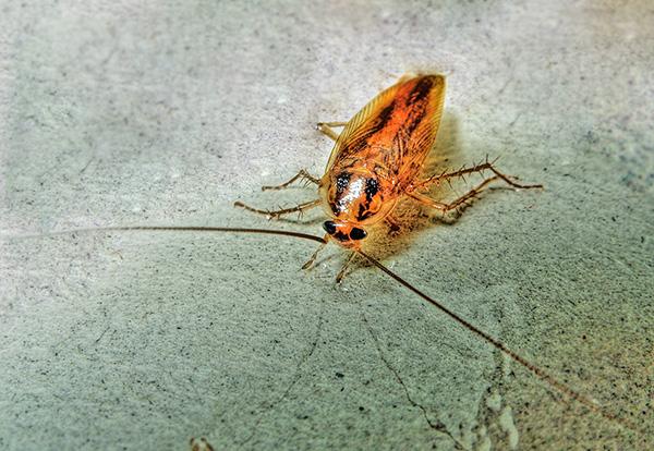 Тараканы в целом более устойчивы к инсектицидам, чем клопы